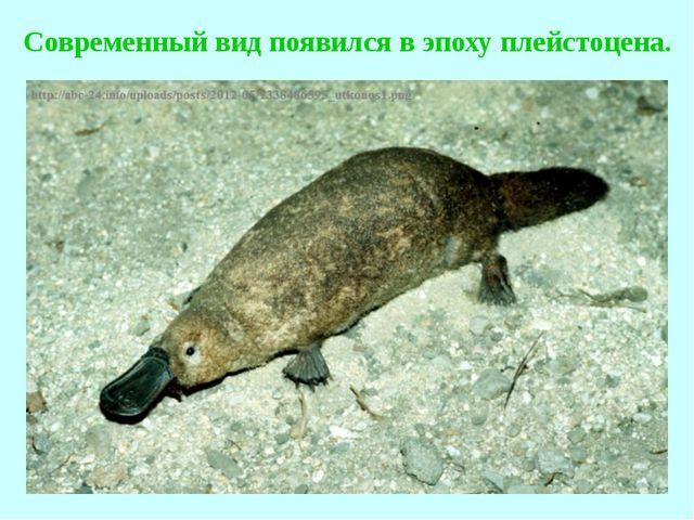 Современный вид появился в эпоху плейстоцена.
