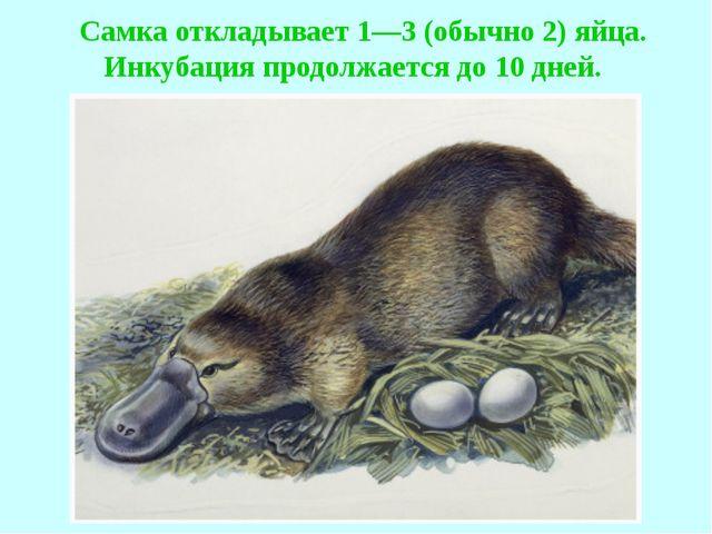 Самка откладывает 1—3 (обычно 2) яйца. Инкубация продолжается до 10 дней.