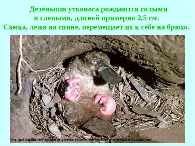 Детёныши утконоса рождаются голыми и слепыми, длиной примерно 2,5 см. Самка...