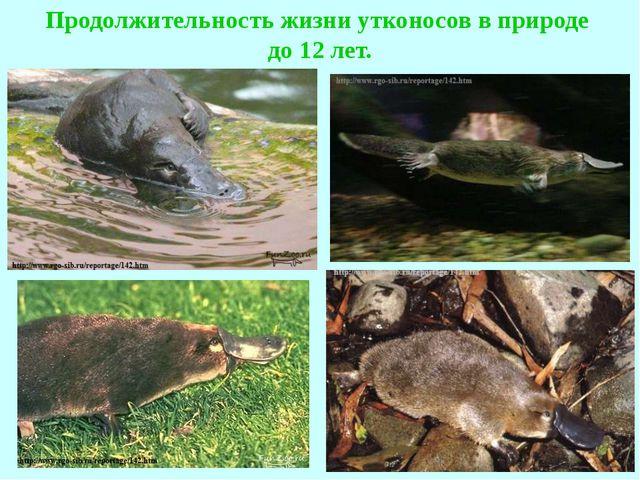 Продолжительность жизни утконосов в природе до 12 лет.