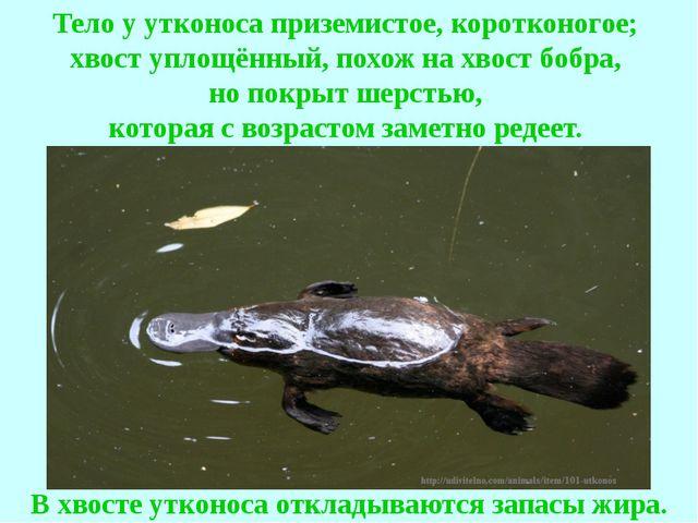 Тело у утконоса приземистое, коротконогое; хвост уплощённый, похож на хвост б...