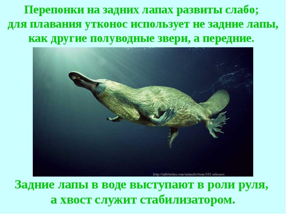 Перепонки на задних лапах развиты слабо; для плавания утконос использует не з...