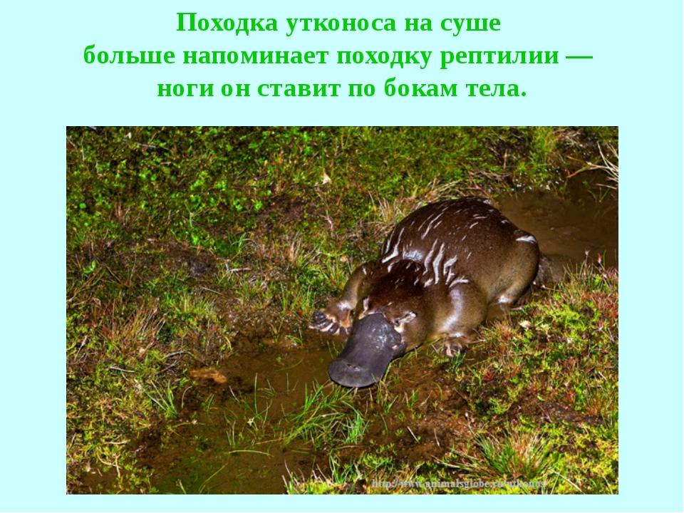 Походка утконоса на суше больше напоминает походку рептилии — ноги он ставит...