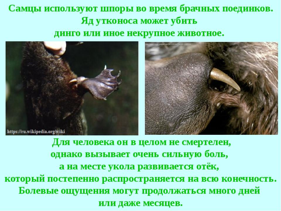 Самцы используют шпоры во время брачных поединков. Яд утконоса может убить ди...