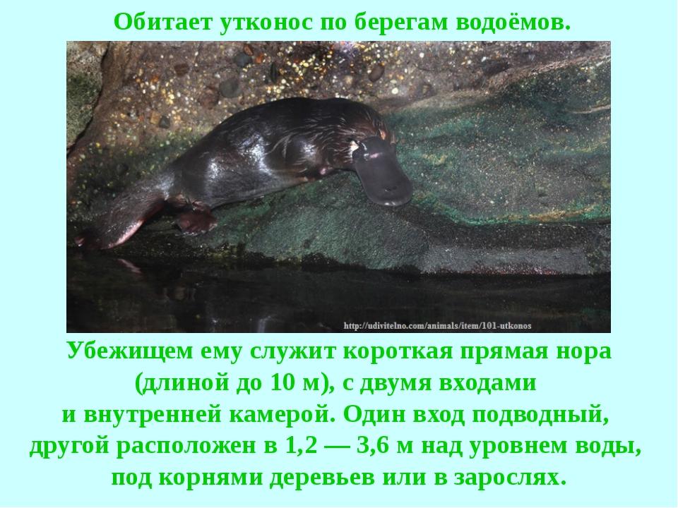 Обитает утконос по берегам водоёмов. Убежищем ему служит короткая прямая н...