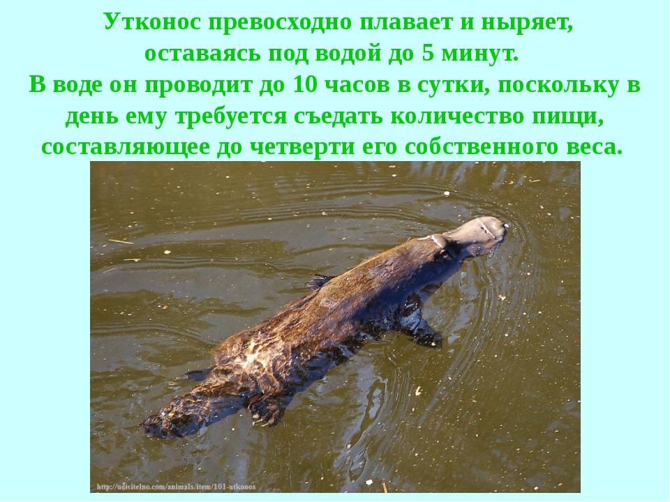 Утконос превосходно плавает и ныряет, оставаясь под водой до 5 минут. В вод...