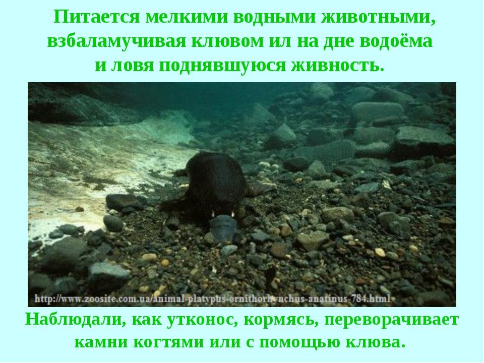 Питается мелкими водными животными, взбаламучивая клювом ил на дне водоёма и...