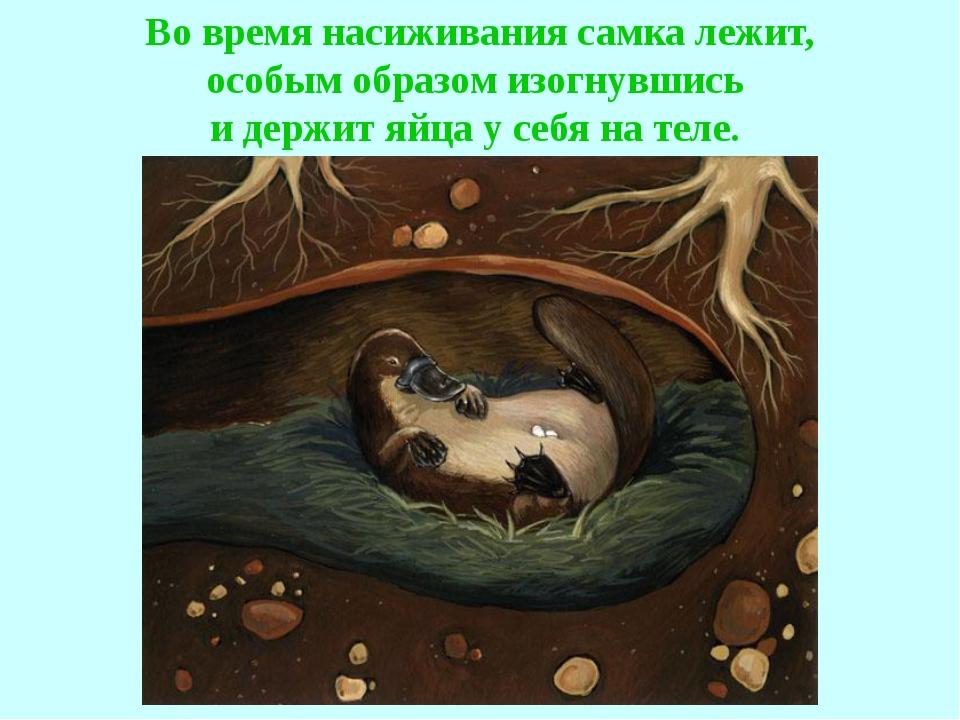 Во время насиживания самка лежит, особым образом изогнувшись и держит яйца у...