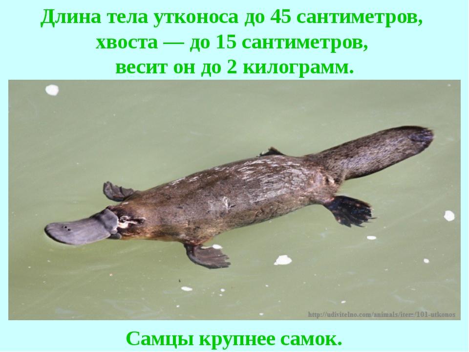 Длина тела утконоса до 45 сантиметров, хвоста — до 15 сантиметров, весит он д...