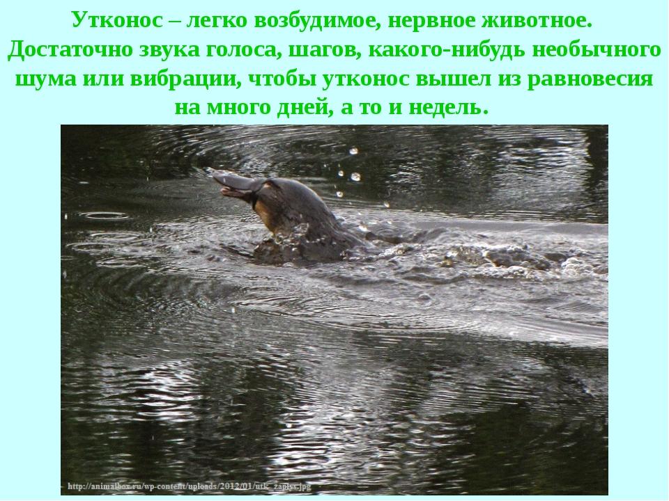 Утконос – легко возбудимое, нервное животное. Достаточно звука голоса, шагов,...