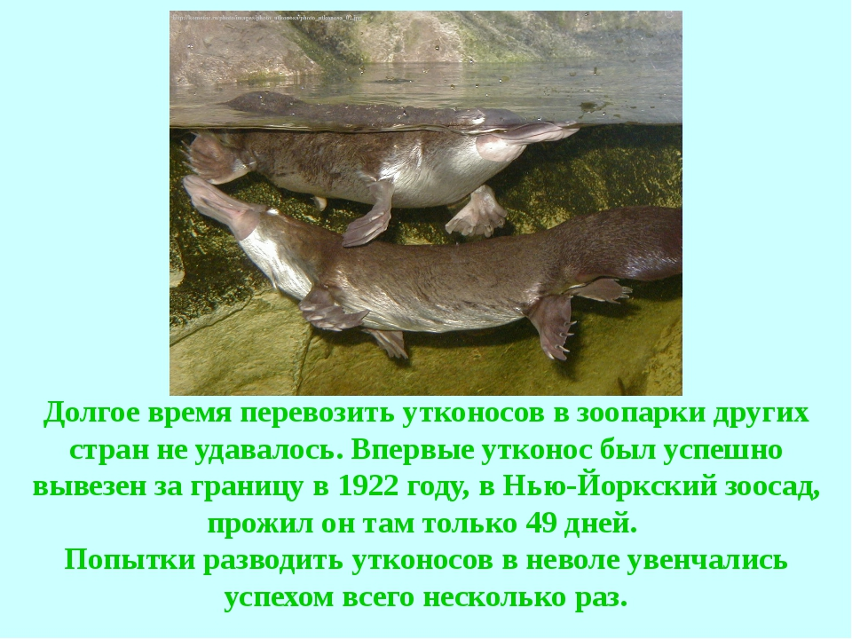 Долгое время перевозить утконосов в зоопарки других стран не удавалось. Вперв...