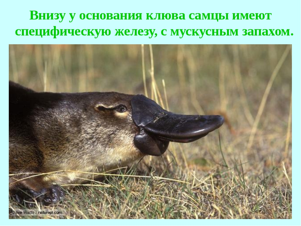 Внизу у основания клюва самцы имеют специфическую железу, с мускусным запахом.