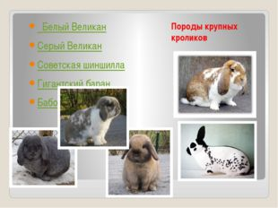 Породы крупных кроликов Белый Великан Серый Великан Советская шиншилла Гигант
