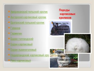 Породы карликовых кроликов Американский польский кролик Ангорский карликовый