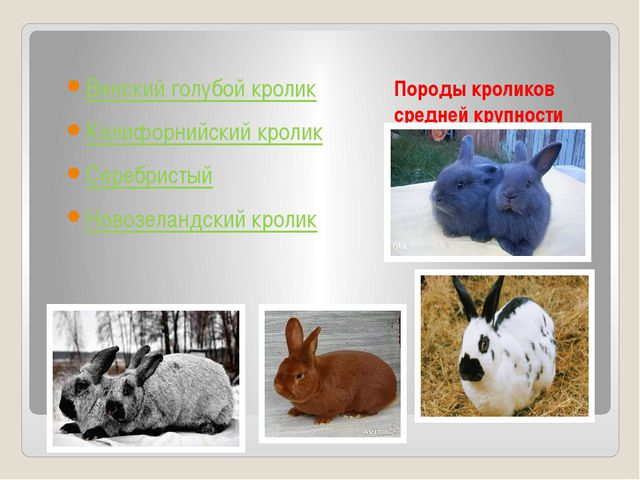 Породы кроликов средней крупности Венский голубой кролик Калифорнийский кроли...