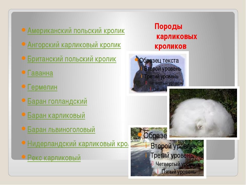 Породы карликовых кроликов Американский польский кролик Ангорский карликовый...