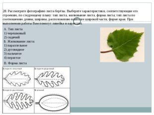 28. Рассмотрите фотографию листа берёзы. Выберите характеристики, соответству