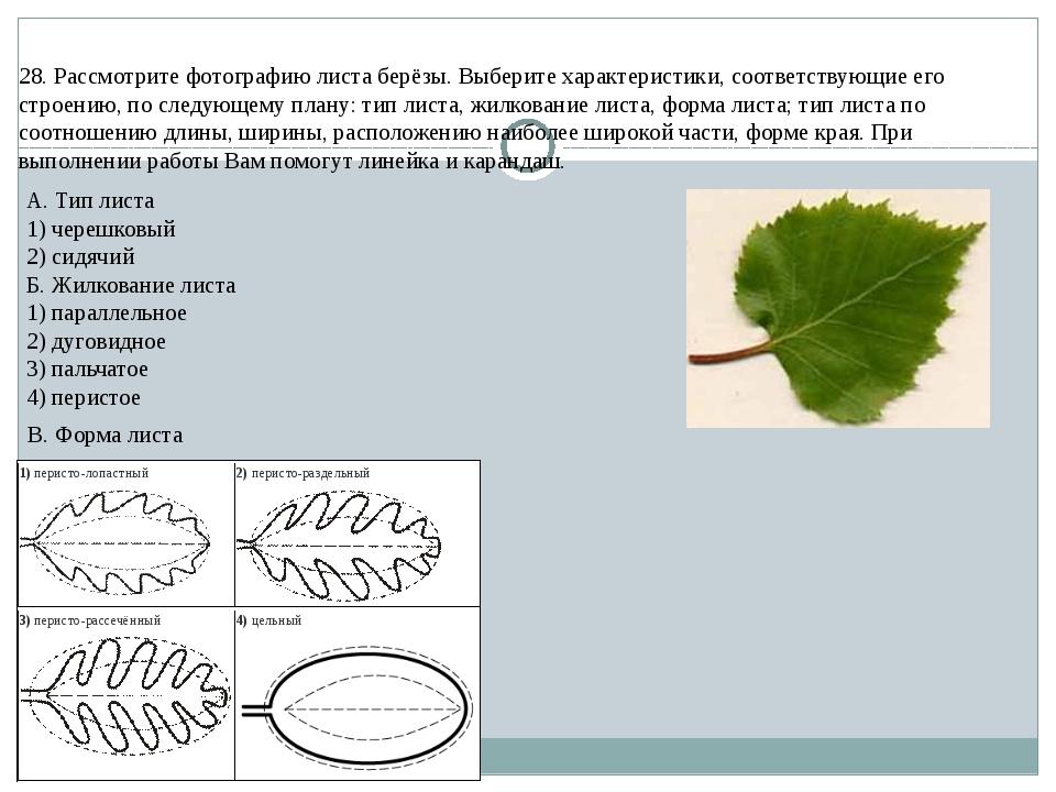 28. Рассмотрите фотографию листа берёзы. Выберите характеристики, соответству...