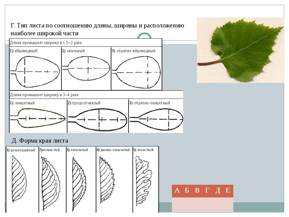 Г. Тип листа по соотношению длины, ширины и расположению наиболее широкой час...