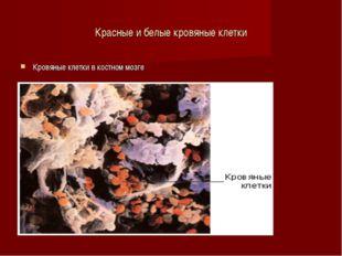 Красные и белые кровяные клетки Кровяные клетки в костном мозге