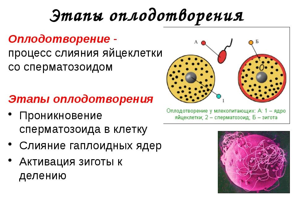 """Оплодотворение "" (10 класс)"