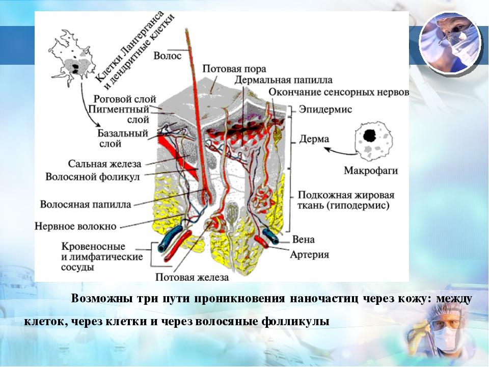 3 Возможны три пути проникновения наночастиц через кожу: между клеток, через...