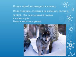 Волки зимой не впадают в спячку. Волк хищник, охотится на кабанов, лосей и за
