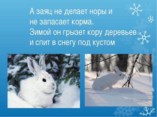 А заяц не делает норы и не запасает корма. Зимой он грызет кору деревьев и сп...