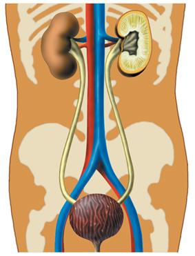 Мочевыделительная система и магистральные кровеносные сосуды