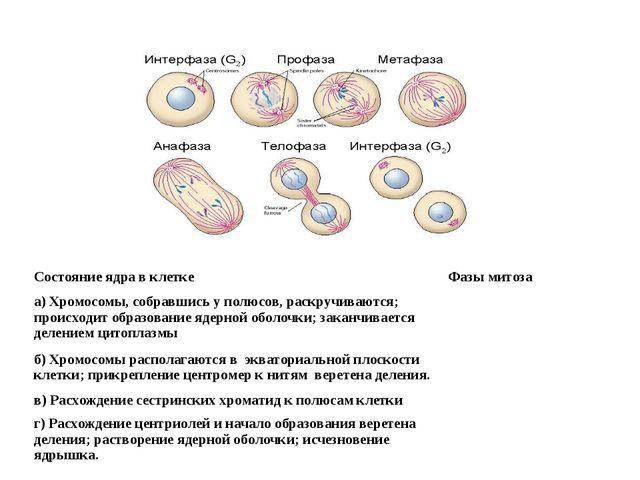 Состояние ядра в клеткеФазы митоза а) Хромосомы, собравшись у полюсов, раскр...