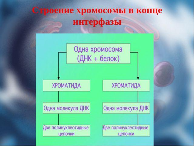 Строение хромосомы в конце интерфазы