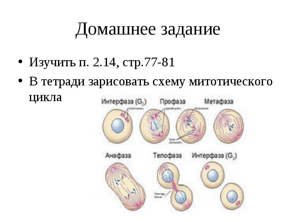 Домашнее задание Изучить п. 2.14, стр.77-81 В тетради зарисовать схему митоти...