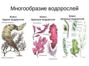 Многообразие водорослей Класс Бурые водоросли Класс Красные водоросли Класс З