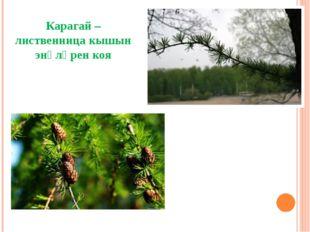 Карагай – лиственница кышын энәләрен коя