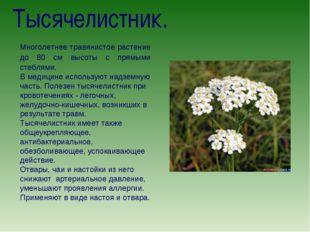 Тысячелистник. Многолетнее травянистое растение до 80 см высоты с прямыми сте