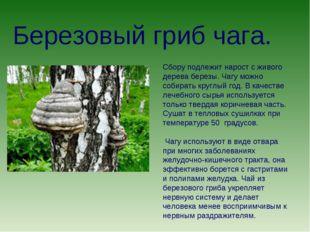Березовый гриб чага. Сбору подлежит нарост с живого дерева березы. Чагу можно