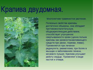 Крапива двудомная. Многолетнее травянистое растение. Полезные свойства крапив
