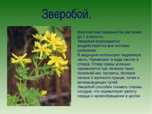 Зверобой. Многолетнее травянистое растение до 1 м высоты. Зверобой благоприят