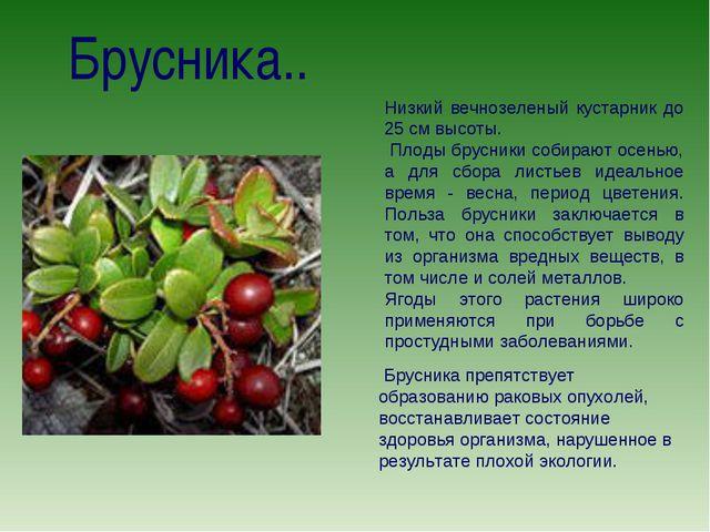 Брусника.. Низкий вечнозеленый кустарник до 25 см высоты. Плоды брусники соби...