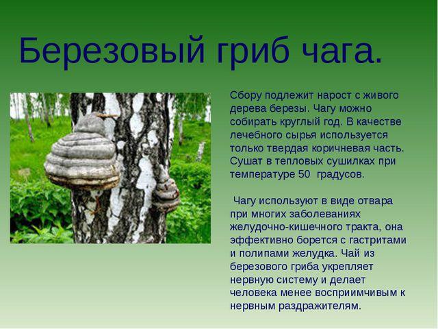 Березовый гриб чага. Сбору подлежит нарост с живого дерева березы. Чагу можно...
