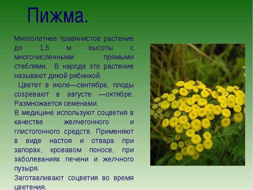 Пижма. Многолетнее травянистое растение до 1,5 м высоты с многочисленными пр...