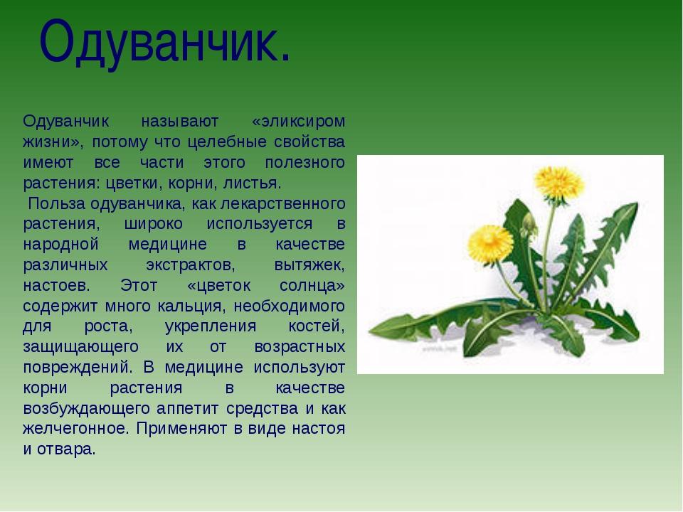 Одуванчик. Одуванчик называют «эликсиром жизни», потому что целебные свойства...