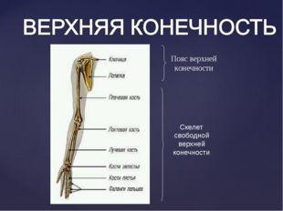 Пояс верхней конечности Скелет свободной верхней конечности