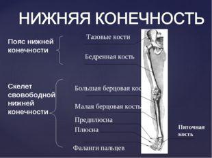Тазовые кости Бедренная кость Большая берцовая кость Малая берцовая кость Пре