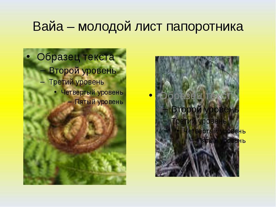 Вайа – молодой лист папоротника