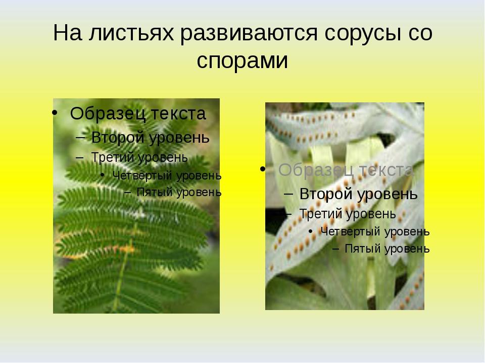 На листьях развиваются сорусы со спорами