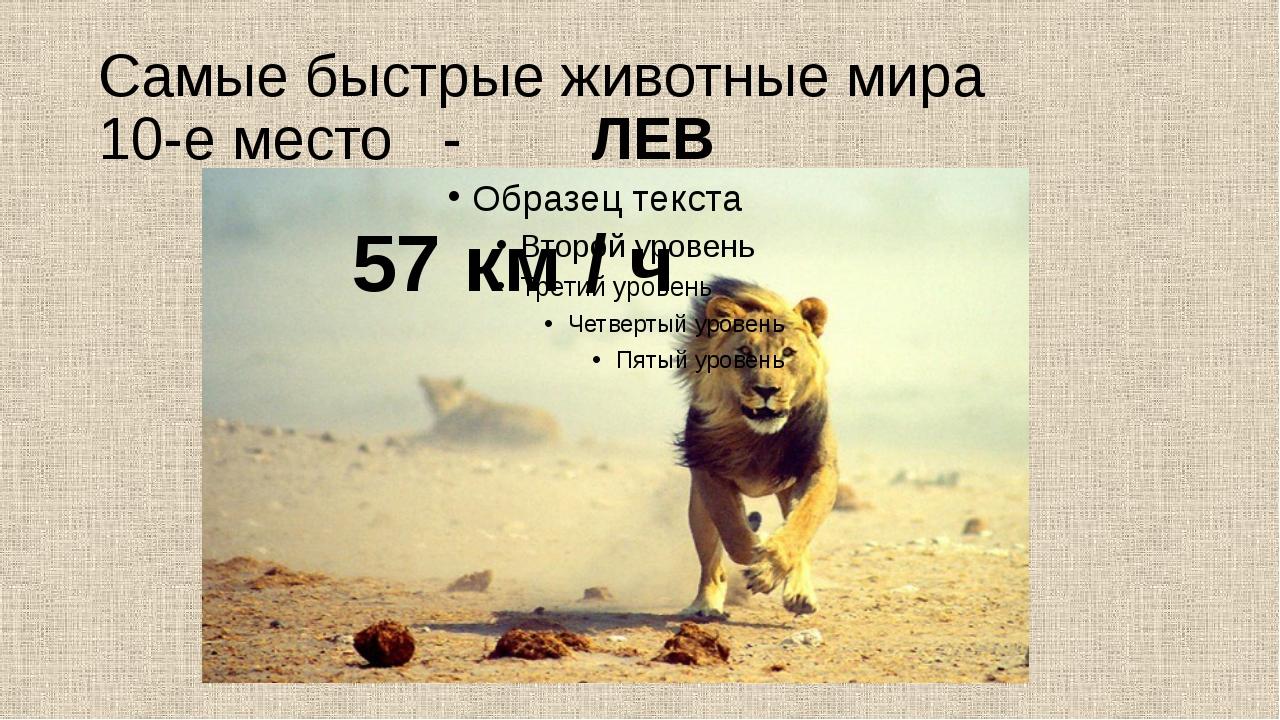 Самые быстрые животные мира 10-е место - ЛЕВ 57 км / ч