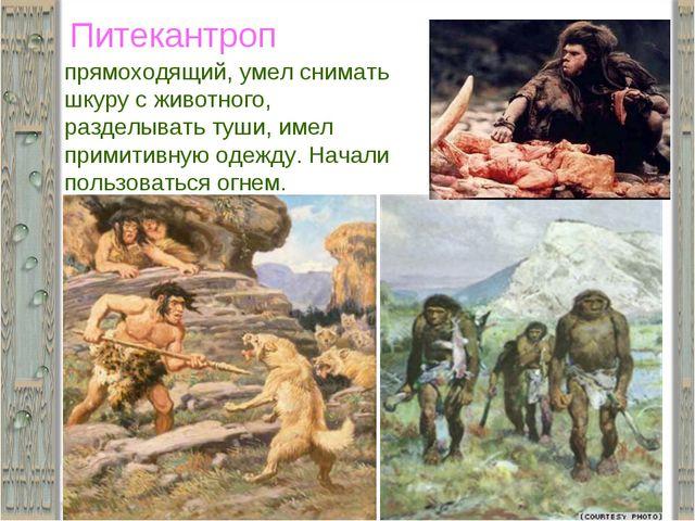 Питекантроп прямоходящий, умел снимать шкуру с животного, разделывать туши, и...