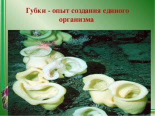 Губки - опыт создания единого организма