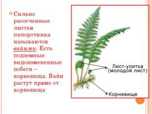 Сильно рассеченные листья папоротника называются вайями. Есть подземные видои